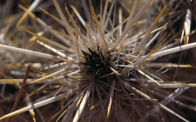 Cylindropuntia echinocarpa K-051310