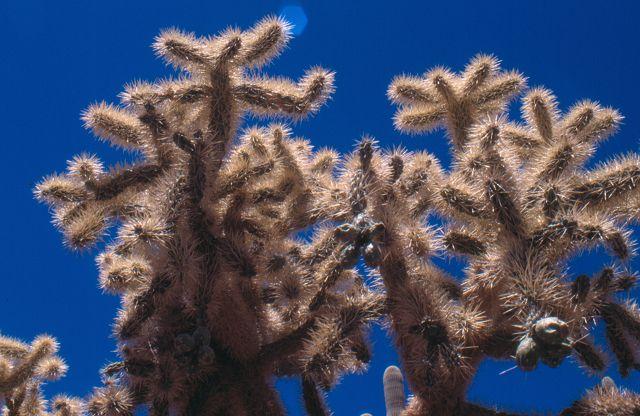 Cylindropuntia fulgida var. fulgida K-150810