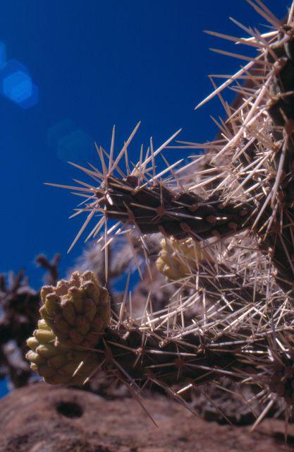 Cylindropuntia whipplei K-177910