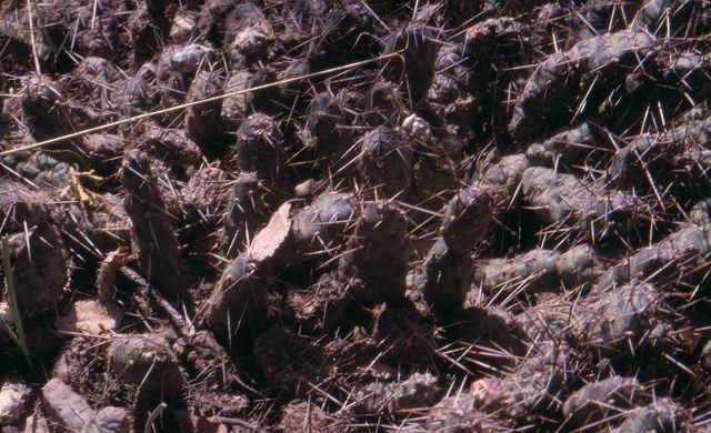Opuntia fragilis K-202710