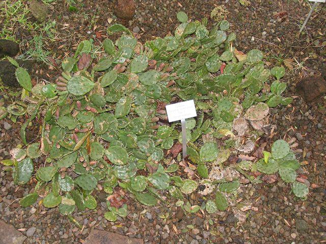 Opuntia humifusa K-opun41