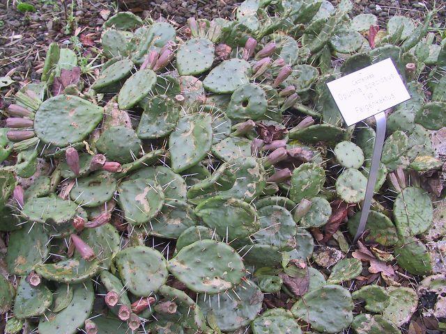 Opuntia humifusa K-opun42