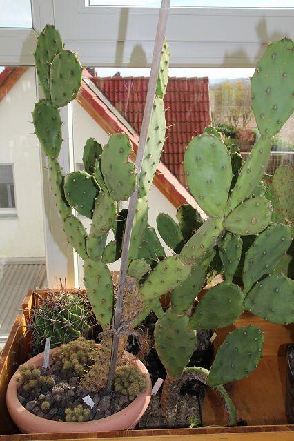 Opuntia stricta K-opun47