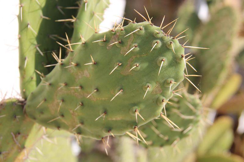 Opuntia tomentosa K-opun63