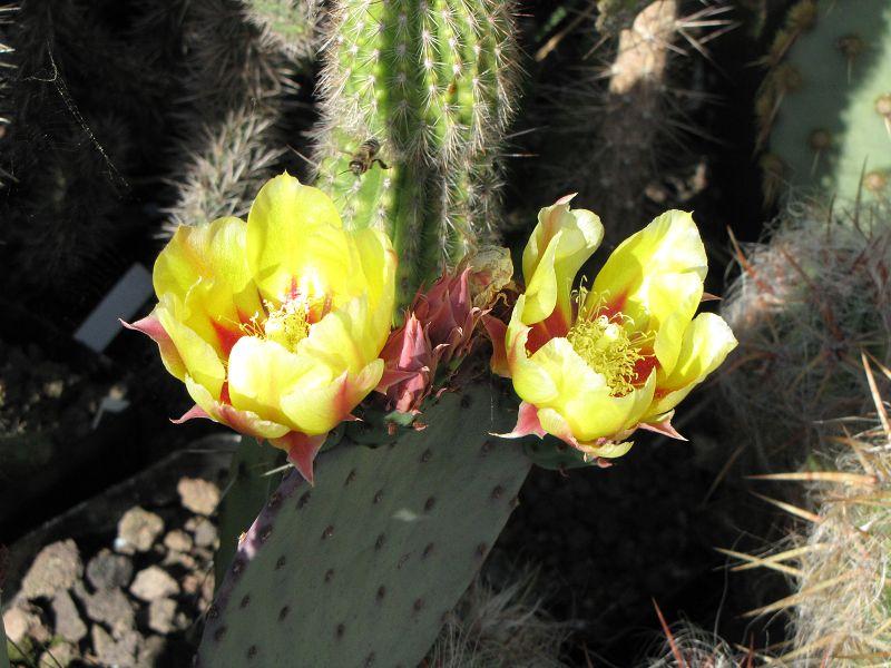 Opuntia azurea K-opun90