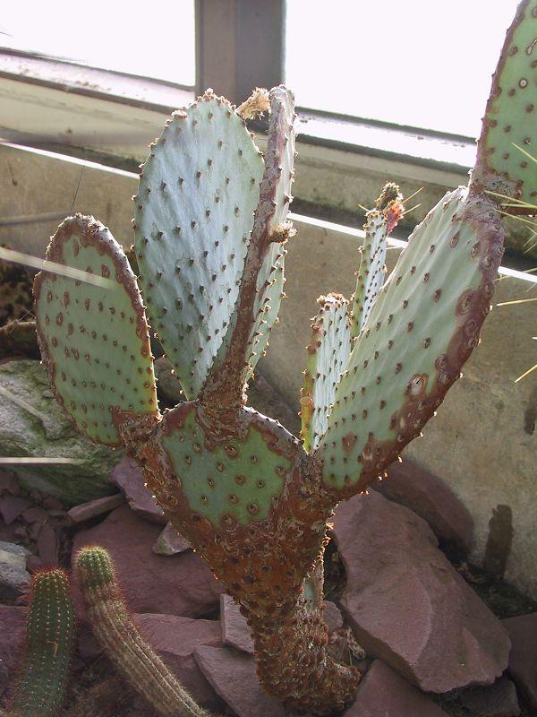 Opuntia azurea K-opun92