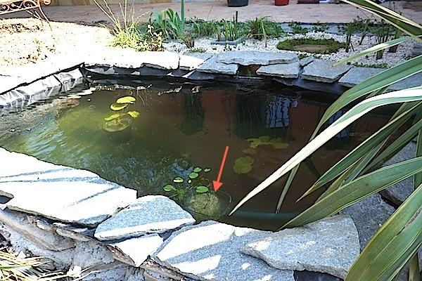 Bassin extérieur avec voiles de chine - Page 5 Dsc08534