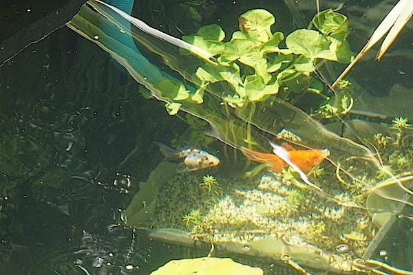Bassin extérieur avec voiles de chine - Page 5 Dsc09014
