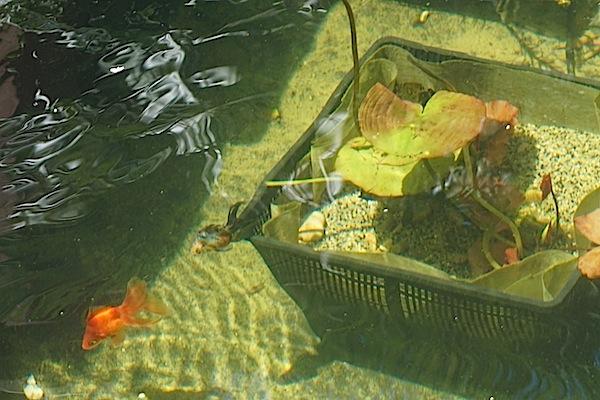 Bassin extérieur avec voiles de chine - Page 5 Dsc09111