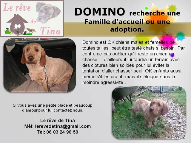 DOMINO, superbe Basset Fauve de Bretagne LOF de 8 ans (61) Domino11
