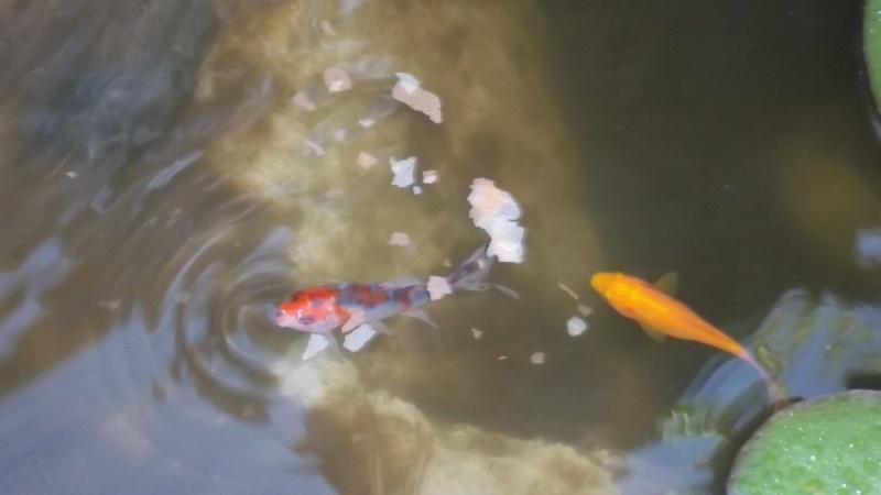 votre aquarium ou votre bassin - Page 3 Bassin13