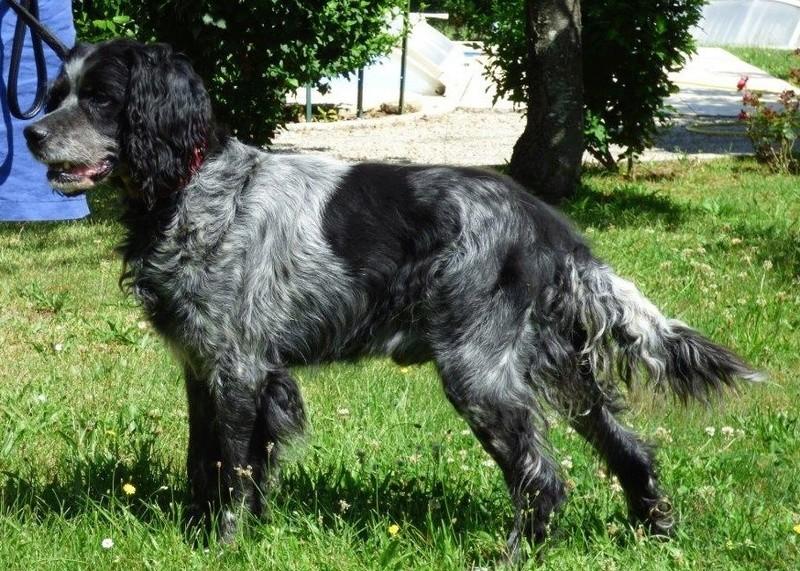 ULYSSE -  epagneul breton  gris/noir 14 ans - recherche panier retraite - Asso Sos Vies de Chiens à Bergerac (24) P1000012