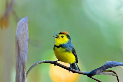 Oiseaux d'Amérique Costa_10