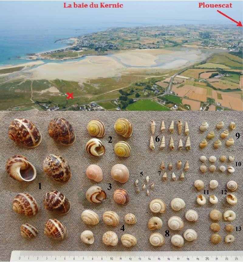 Ensembles de terrestres & autres, en laisse de grande marée en baie du Kernic, Plouescat. Gastyr10
