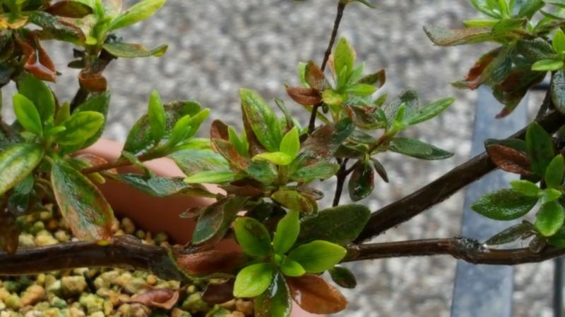 falso rinvaso azalea 20160811