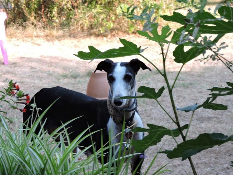 Careta grande galga noire et blanche, bientôt 6 ans.Scooby France  Adoptée  - Page 5 Dscn4812