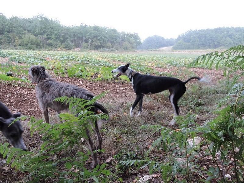 Careta grande galga noire et blanche, bientôt 6 ans.Scooby France  Adoptée  - Page 5 Dscn4914