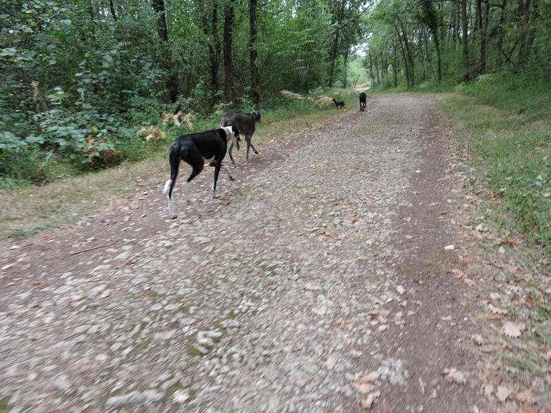 Careta grande galga noire et blanche, bientôt 6 ans.Scooby France  Adoptée  - Page 5 Dscn4916