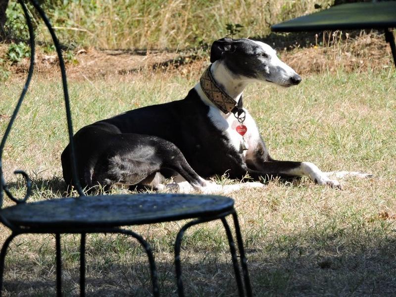 Careta grande galga noire et blanche, bientôt 6 ans.Scooby France  Adoptée  - Page 5 Dscn4918