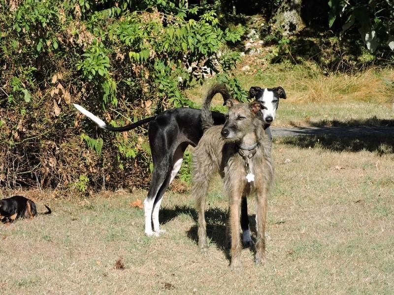 Careta grande galga noire et blanche, bientôt 6 ans.Scooby France  Adoptée  - Page 5 Dscn5010
