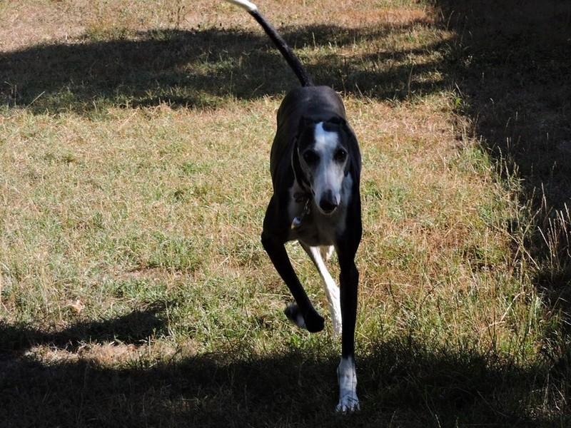 Careta grande galga noire et blanche, bientôt 6 ans.Scooby France  Adoptée  - Page 5 Dscn5011