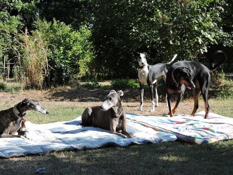Careta grande galga noire et blanche, bientôt 6 ans.Scooby France  Adoptée  - Page 5 Dscn5012