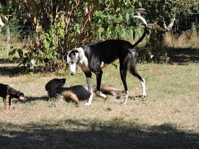 Careta grande galga noire et blanche, bientôt 6 ans.Scooby France  Adoptée  - Page 5 Dscn5013