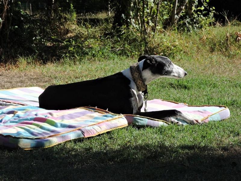 Careta grande galga noire et blanche, bientôt 6 ans.Scooby France  Adoptée  - Page 5 Dscn5014