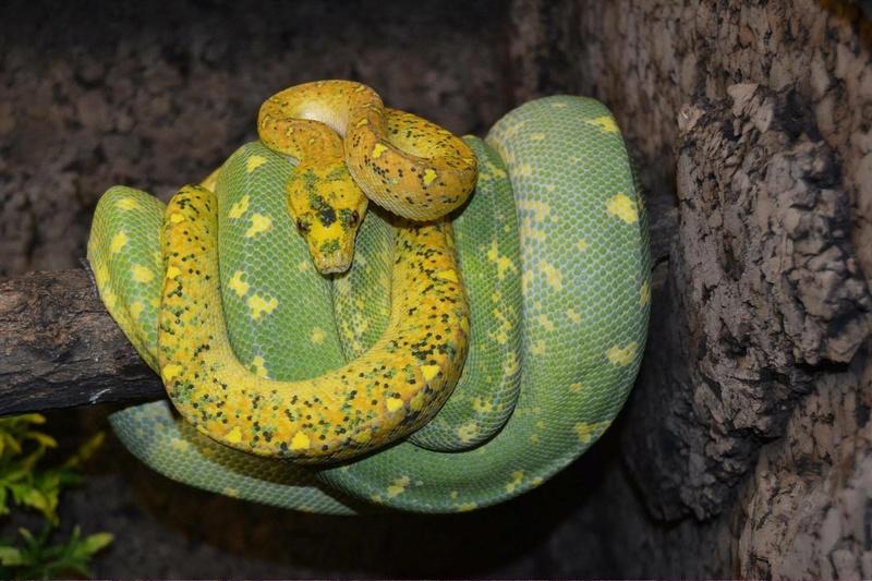 Morelia viridis particulier  13383510