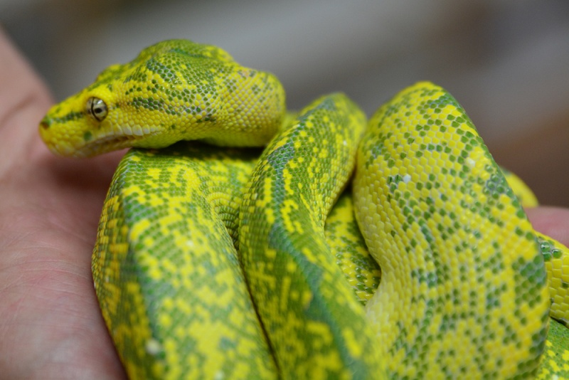 Morelia viridis High Yellow Dsc_2121