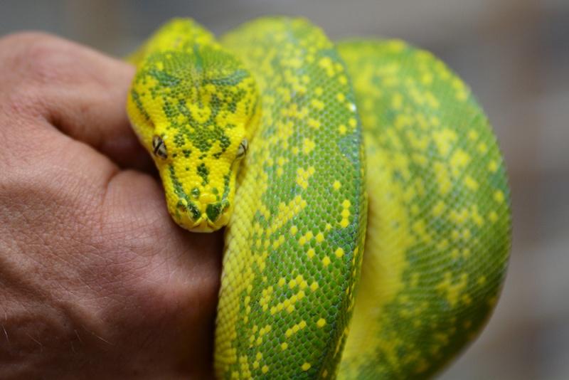Morelia viridis High Yellow Dsc_2123