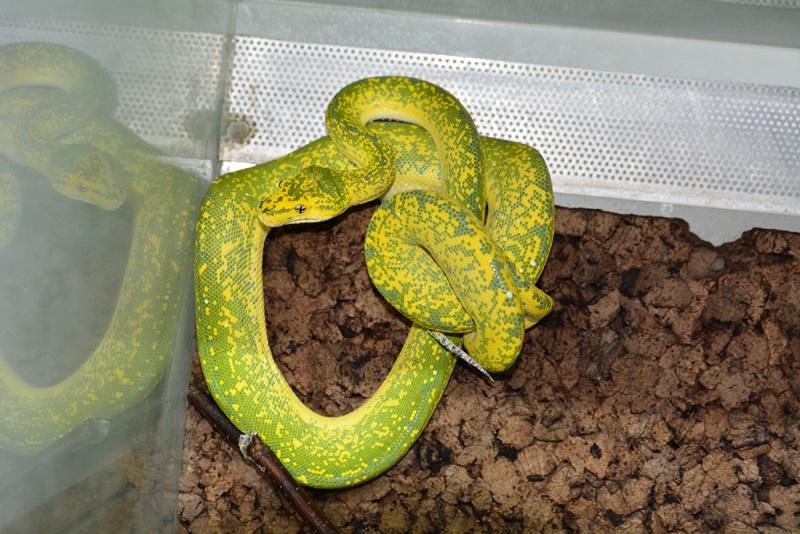 Morelia viridis High Yellow Dsc_2127