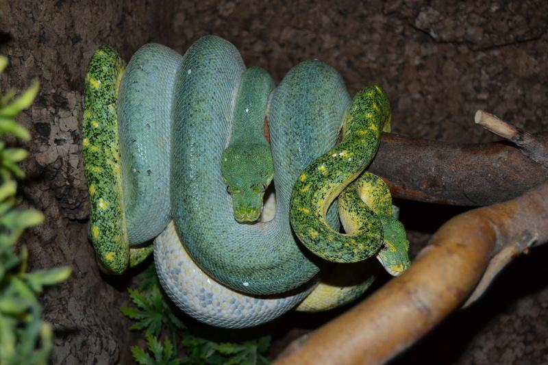 Morelia viridis particulier  Midnig11