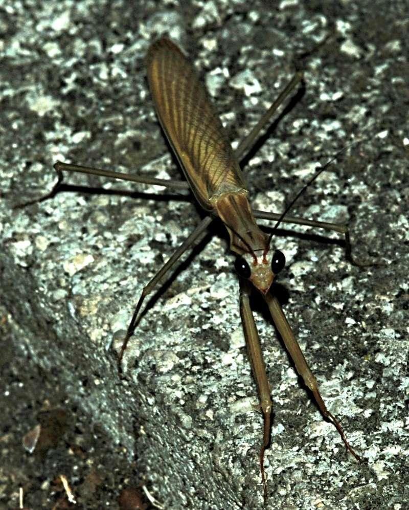 Mantis religiosa Mantid11