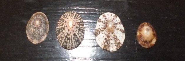 Lottidae - Lottia antillarum - G. B. Sowerby I, 1834 Anse_m11