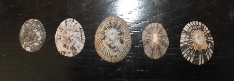 Lottidae - Lottia antillarum - G. B. Sowerby I, 1834 Ste_lu11