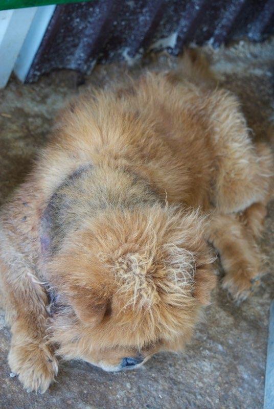 WOOKIE, femelle chow chow, taille moyenne née env 2011 (Pascani)- REMEMBER ME LAND - Adoptée par Sonia (dpt57) Dsc_0121