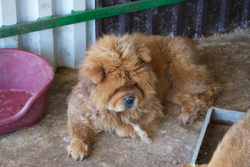 WOOKIE, femelle chow chow, taille moyenne née env 2011 (Pascani)- REMEMBER ME LAND - Adoptée par Sonia (dpt57) Dsc_0499