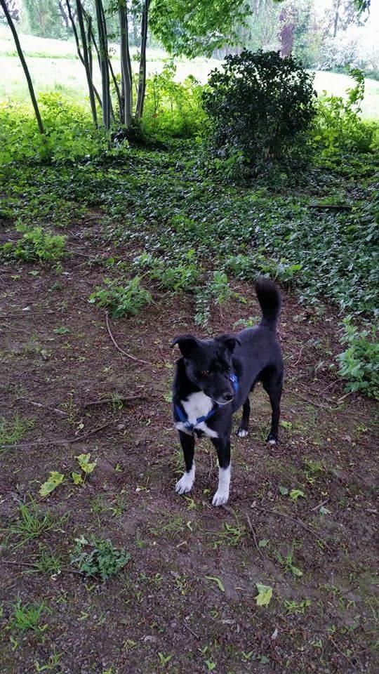 KAWAI, chien mâle, né en 2013, croisé, trouvé blessé (Pascani)- adopté par Veronica (Belgique) - Page 7 Fb_img13