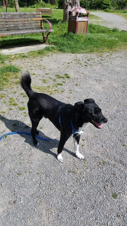 KAWAI, chien mâle, né en 2013, croisé, trouvé blessé (Pascani)- adopté par Veronica (Belgique) - Page 7 Fb_img14