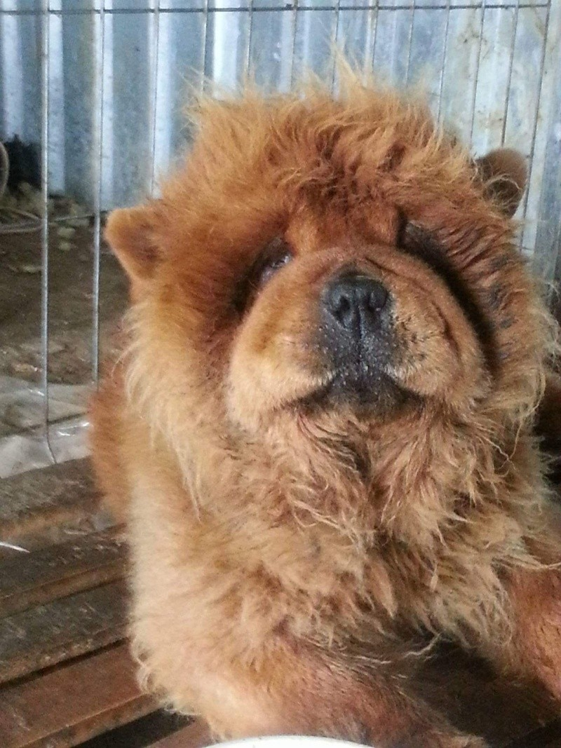 WOOKIE, femelle chow chow, taille moyenne née env 2011 (Pascani)- REMEMBER ME LAND - Adoptée par Sonia (dpt57) Receiv81