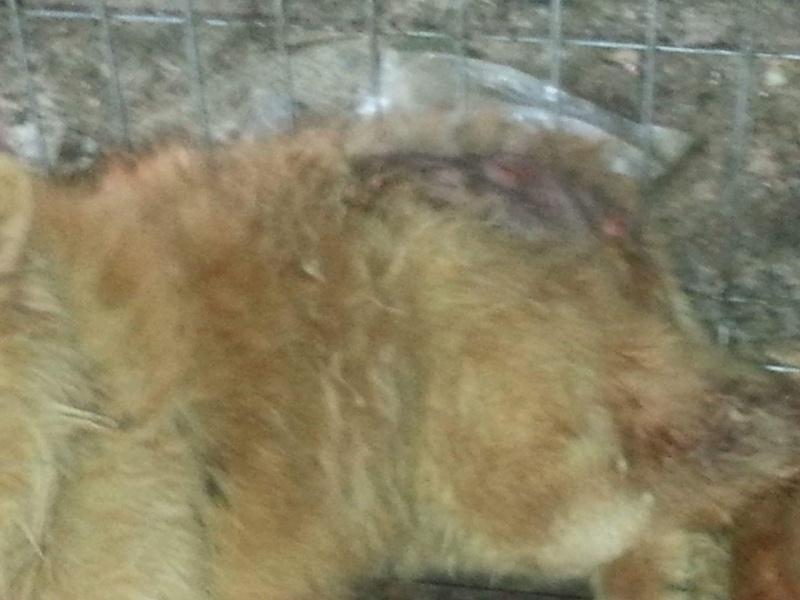 WOOKIE, femelle chow chow, taille moyenne née env 2011 (Pascani)- REMEMBER ME LAND - Adoptée par Sonia (dpt57) Receiv82