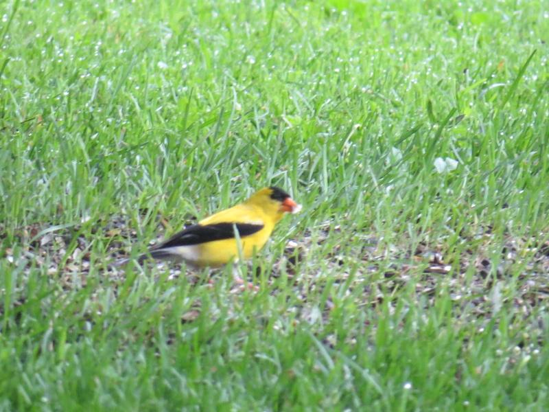 Chardonneret jaune Img_4312