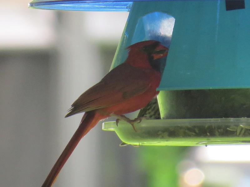 Cardinal rouge Img_4313