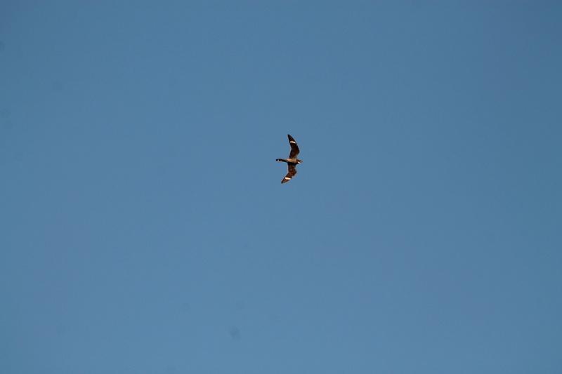 Je ne connais vraiment pas cet oiseau la .....de l'aide s.v.p. Img_8511
