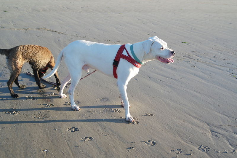 BIGUI, mâle dogue argentin, 5 ans Sam_4622