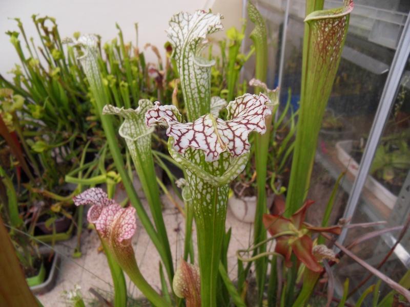 Les Leucophylla Sdc16426