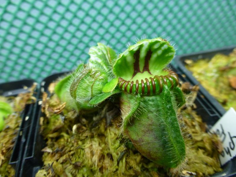 photos de céphalotus - Page 3 P1020411