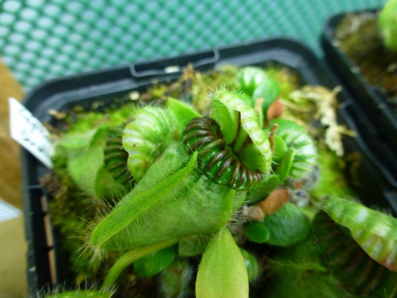 photos de céphalotus - Page 3 P1020414