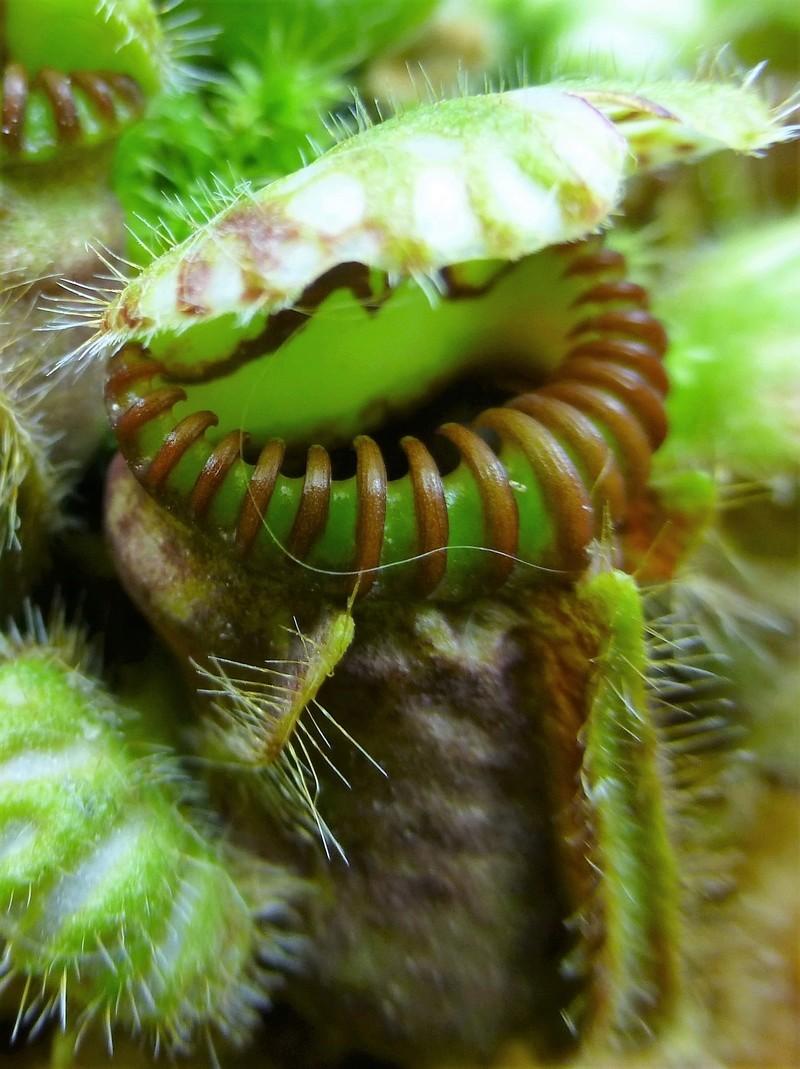 photos de céphalotus - Page 3 P1020511